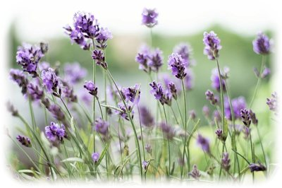_lavender.jpg