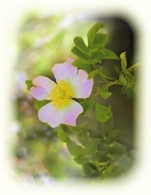 rose-4859159_640.jpg